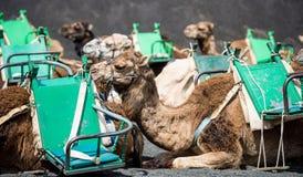 Camelcade on Lanzarote Stock Image
