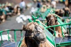 Camelcade on Lanzarote Stock Images