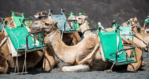 Camelcade on Lanzarote Royalty Free Stock Image