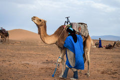 Cameleer. (camel driver) with camels in dunes of Marrakech Royalty Free Stock Photo
