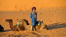 Cameleer with camels in desert stock photography