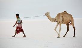 Cameleer nelle dune di sabbia bianche Immagine Stock