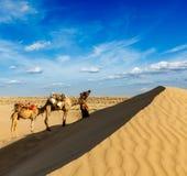 Cameleer (wielbłądzi kierowca) z wielbłądami w diunach Thar pustynia. Raj Fotografia Stock