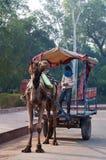 Cameleers med kamlet väntar på turister fotografering för bildbyråer