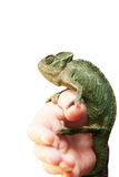 Cameleon Royalty Free Stock Photo