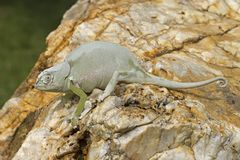 Cameleon Stock Photo