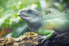 Cameleon Stock Photos