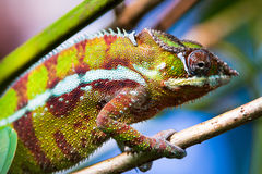 Cameleon Royalty Free Stock Images