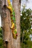 Cameleon du Madagascar Images libres de droits