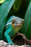Cameleon du Madagascar image stock