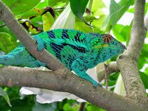 Cameleon Furcifer pardalis. Royalty Free Stock Images