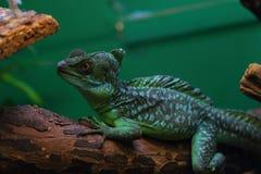 Cameleon or iguana Stock Photography