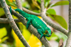 Cameleon of Madagascar Royalty Free Stock Photography