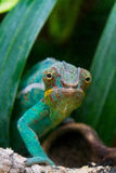 Cameleon of Madagascar Stock Image
