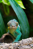 Cameleon of Madagascar Royalty Free Stock Photo