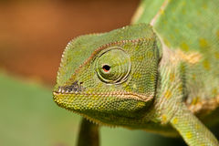 Cameleon vert adulte Photo stock