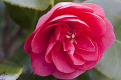 Camelia Stock Photos