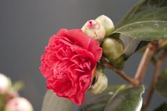 Camelia Royalty Free Stock Photography
