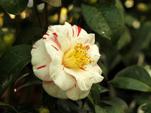 Camelia. Camellia blooming in the greenhouse Royalty Free Stock Photos