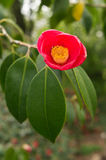 CAMELIA Stock Images