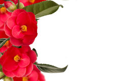 Camelia collage background Royalty Free Stock Photography