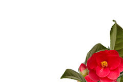 Camelia collage background Royalty Free Stock Images