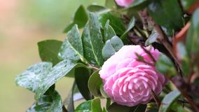 Camelia in een regenachtige dag stock video