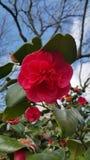 Camelia fleurit contre le contexte du ciel bleu et des branches d'arbre stériles image stock