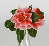 Camelia. Flower, pink and white Royalty Free Stock Images