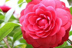 Camelia flower. Red Camellia in full bloom Royalty Free Stock Images