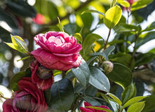 Camelia Royalty Free Stock Image