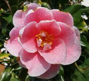 Camelia Royalty Free Stock Photos