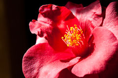 Camelia Japonica Stock Photos