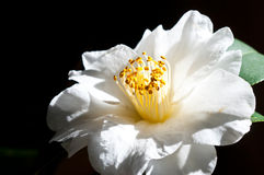 Camelia Japonica Royalty Free Stock Images