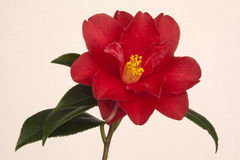 Camelia japonica 'Adolphe Audusson'. Red Camelia japonica 'Aldolphe Audusson Royalty Free Stock Photo