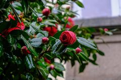 Camelia japonica flower in bloom stock image