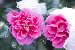 Camelia in neve Immagine Stock