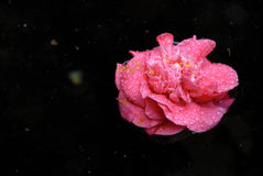 Camelia in the pond. Red Camelia with dew drops over a pond Stock Images