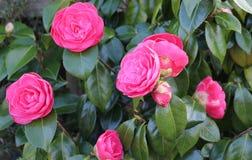 Camelia rosada en la floración Imágenes de archivo libres de regalías