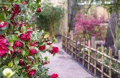 Camelia's in de tuin royalty-vrije stock foto's