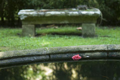 Camelia, in the water Stock Photography