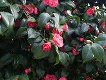 Camelias bastante rosadas que crecen en un arbusto Fotografía de archivo libre de regalías