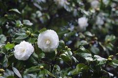 Camelias blancas Imagen de archivo libre de regalías