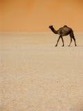 Camelk walking Stock Photos