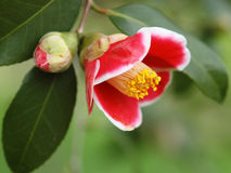 Camellia-0001 Foto de Stock Royalty Free
