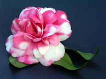 Camellia Bloom Stock Photo