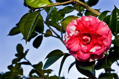 Camellia. On the branches of camellias in full bloom Royalty Free Stock Photography