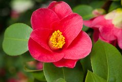Camellia. Japonica similar to the oldest  in Europe located in Dresden-Pillnitz Royalty Free Stock Photos