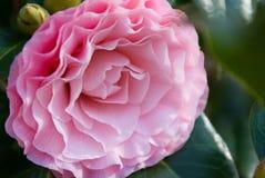 Camellia Royaltyfri Bild