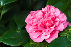 Camellia. Detail of a pink camellia in the tree Stock Photos